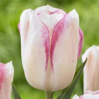 Многоцветные тюльпаны