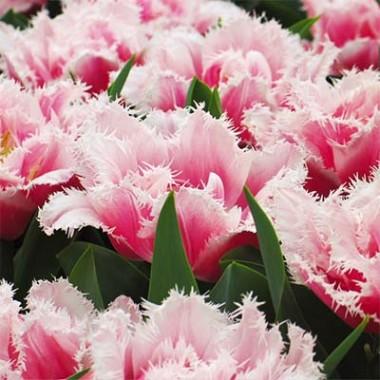 Тюльпан Brest  фото цена