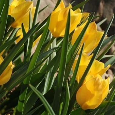 Тюльпан Bright Gem смотреть