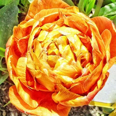 Махровые тюльпаны