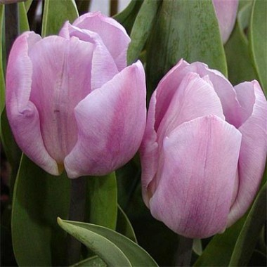 Тюльпан Candy Prince фото цена