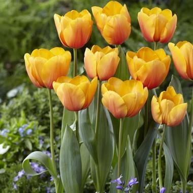 Тюльпан Cash фото