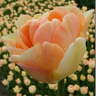 Тюльпан Сharming Beauty купить онлайн