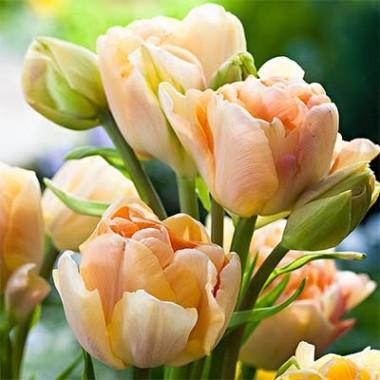 Тюльпан Сharming Beauty интернет-магазин