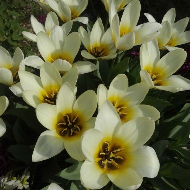 Тюльпаны Кауфмана купить