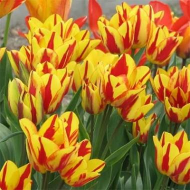 Тюльпан Сolour Spectacle  купить онлайн