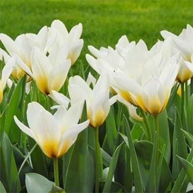 Тюльпан Сoncerto фото цена