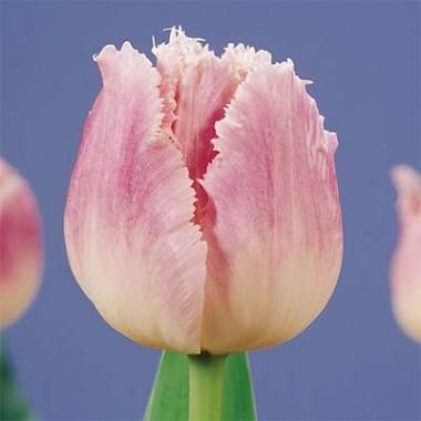 Тюльпан Dallas описание