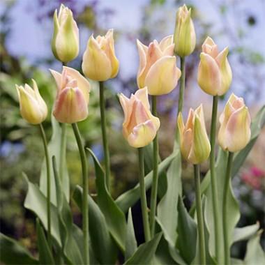 Тюльпан Elegant Lady в киеве