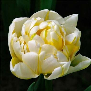 Тюльпан Flaming Evita смотреть