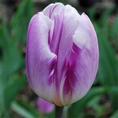 Триумф-тюльпаны купить