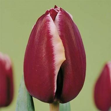 Тюльпан Fontainebleau почтой