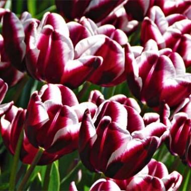 Тюльпан Fontainebleau описание