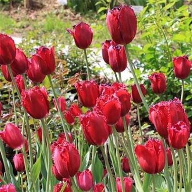 Тюльпан Gipsy Love фото
