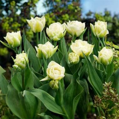 Тюльпан Global Desire  фото