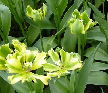 Тюльпан Green Jay почтой