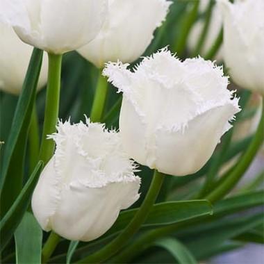 Тюльпан Honeymoon смотреть