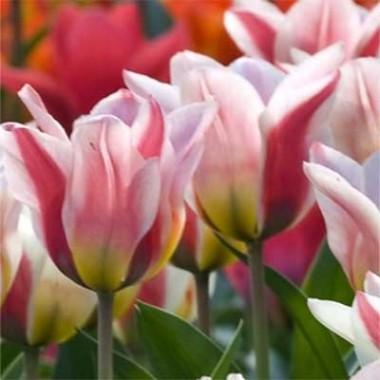 Тюльпаны Грейга купить