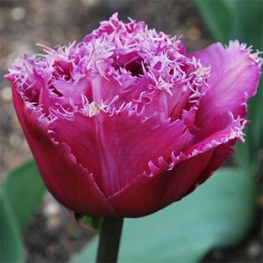 Тюльпан Matchpoint фото цена