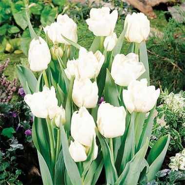 Тюльпан Mondial фото цена