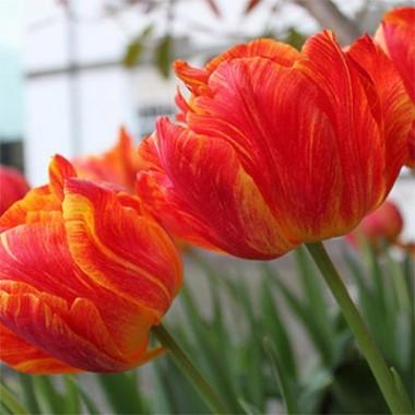 Тюльпан Monte Flame  в киеве