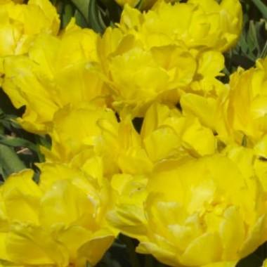 Тюльпан Monte Sweet описание