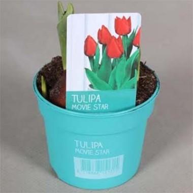 Тюльпан Movie Star (горшок 9 см) купить онлайн