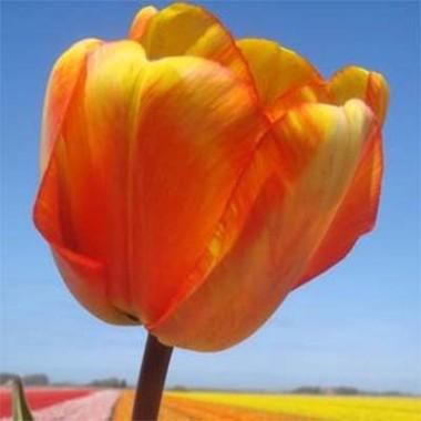 Тюльпан Mystic Garant описание