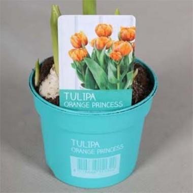 Тюльпан Orange Princess (горшок 9 см) почтой
