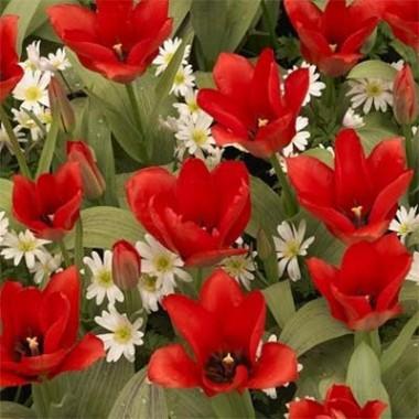 Тюльпан Oriental Beauty описание