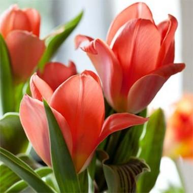 Тюльпан Oriental Beauty купить онлайн