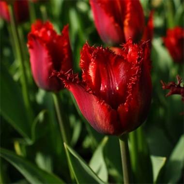 Тюльпан Pacific Pearl фото цена