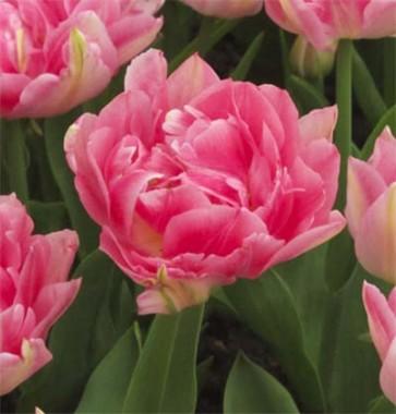 Тюльпан Peach Blossom интернет-магазин