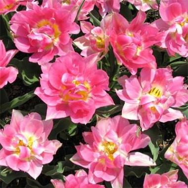 Тюльпан Peach Blossom фото цена