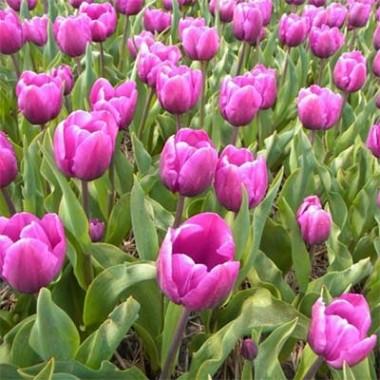 Тюльпан Purple Cloud фото цена