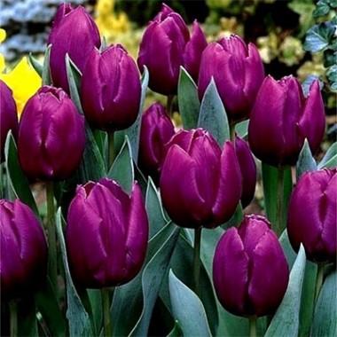 Тюльпан Purple Prince фото цена