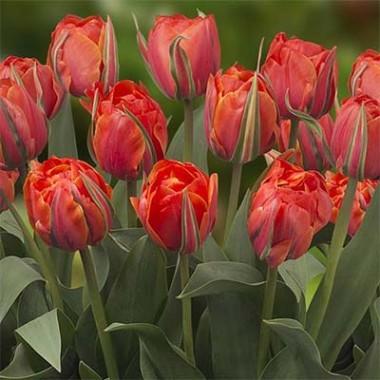 Тюльпан Queensday почтой