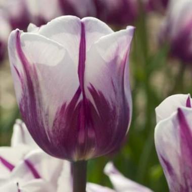 Тюльпан Rems Favourite смотреть