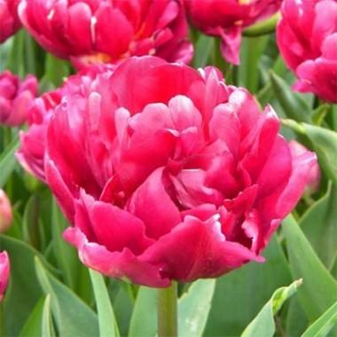 Тюльпан Royal Acres купить онлайн