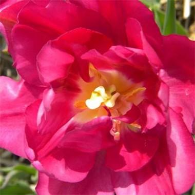 Тюльпан Royal Acres смотреть