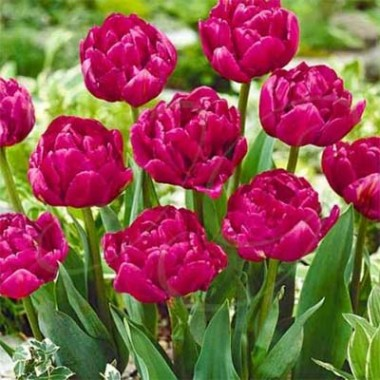 Тюльпан Royal Acres фото