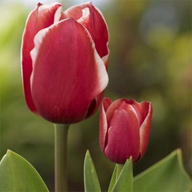 Тюльпан Samoa купить онлайн