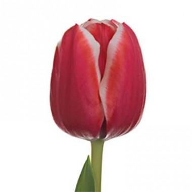 Тюльпан Samoa почтой