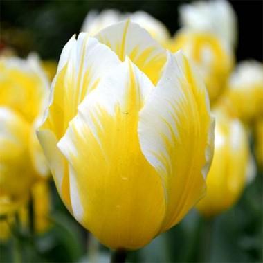 Тюльпан Sweetheart фото