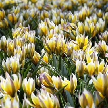Ботанические тюльпаны купить