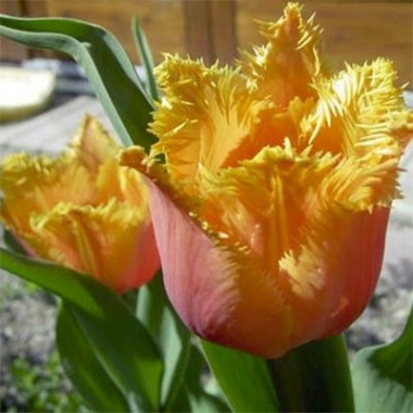 Бахромчатые тюльпаны купить