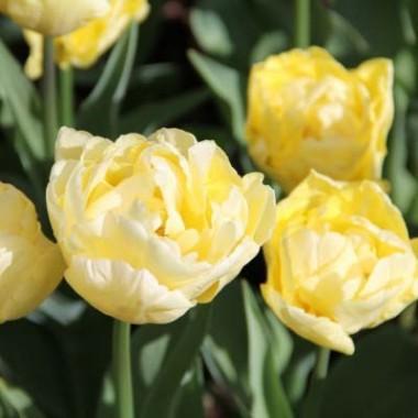 Тюльпан Verona купить онлайн