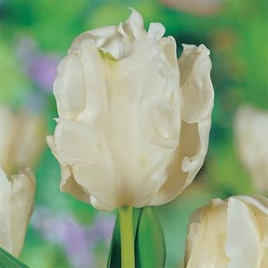 Тюльпан Witte Rebel фото цена