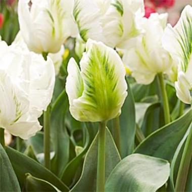 Тюльпан Witte Rebel фото
