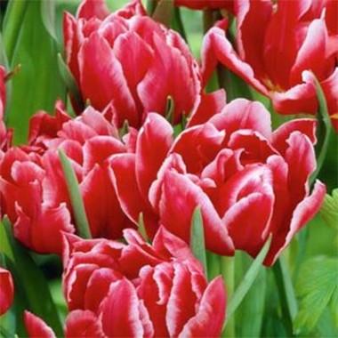 Тюльпан Willemsoord почтой